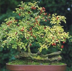 Бонсай из дерева боярышника