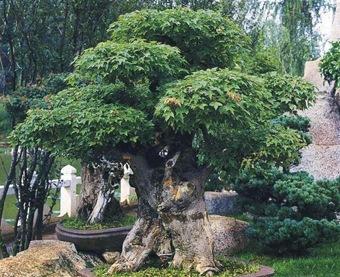 Дерево бонсай - клен
