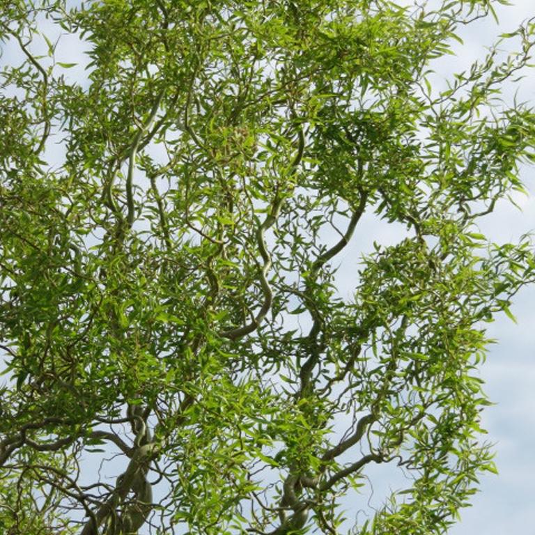 Дерево и кустарник ива – фото, виды и сорта. Использование ивы в ...