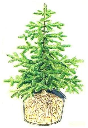 Елка в горшке - здоровое дерево