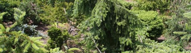 Сербская ель для маленького участка